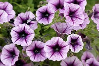 Petunia species Petunia hanging Germany Europe