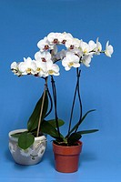 Orchid Phalaenopsis Germany Europe