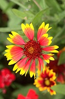 Blanketflower indian blanket Gaillardia aristata Germany Europe