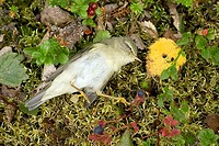 Dead, Willow, Warbler, Norway, Phylloscopus, trochilus,