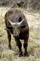 African Buffalo Syncerus caffer Sabi Sand Game Reserve Kruger Nationalpark South Africa Africa