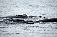 Southern Right Whale Balaena glacialis Hermanus South Africa Africa