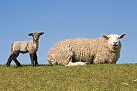 Domestic sheep with lamb