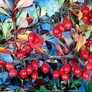 botany, Barberry, Berberis, Thunberg`s Barberry, Berberis thunbergii, berries, at branch, berry, fruits, fruit, Japanese barberry, Ranunculales, Ranun...