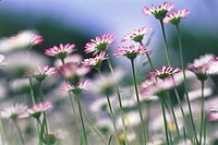 Pink/white Daisies