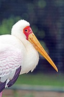 Yellow billed stork (thumbnail)