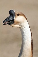 Black, brown and white goose