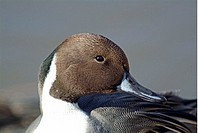 Falcated duck (thumbnail)