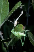 Speckled Bush-cricket (Leptophyes punctatissima) moulting