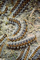 Pine Processionary (Thaumetopoea pityocampa) Caterpillar