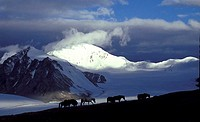Horses in between the mountains of the Mongolian Altai, on the border with the Russian Federation - in the background the 4374-metre-high Taven Bogd, ...
