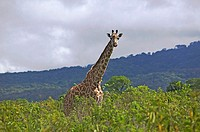 Giraffe in Serengeti National Park, Tanzania, Africa