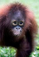 Portrait of young orang-utan, Borneo Indonesia