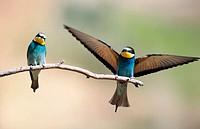 European Bee-eater (Merops apiaster). Extremadura. Spain