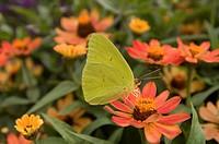 A yellow sulphur butterfly on a flower in Lincoln, Nebraska