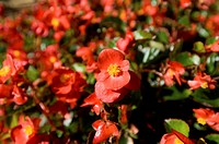 Emperor Red begonia flowers in Nebraska
