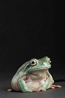White´s tree frog Litoria caerulea