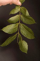 A pecan tree leaf Carya illinoensis