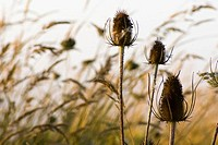 Thistle heads and grasses beside farmland. Saanich, British Columbia, Canada, 20 August 2006