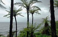 Tree ferns on the wiild west coast of the South Island, Jackson Bay Road, Tasman Sea, New Zealand