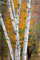 Birch trees in autumn Grafton Notch Maine USA
