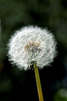 Dandelion seed head, Taraxacum officinale