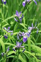 Harlequin blueflag Iris versicolor
