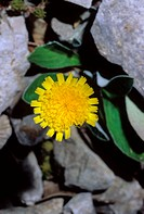 Mouse-ear hawkweed flower Pilosella officinarum  This plant is used as a herbal treatment of coughs, asthma and other types of congestion  The herb is...