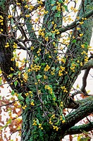 Mistletoe berries Loranthus europaeus in a tree