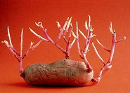 Sprouting potato  View of a sprouting potato, Solanum tuberosum  The potato is a native of the high valleys of Mexico, Peru and Chile, and was introdu...