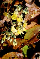 Epimedium x versicolor ´Sulphureum´  Bishop´s Hat yellow flowers and buds with brown foliage