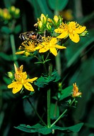 Square stalked St John´s wort flowers Hypericum tetrapterum  Photographed in Abruzzo National Park, Italy