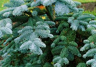 Picea abies procera GLAUCA  Close up of foliage