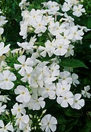Phlox paniculata White Admiral  Mass of white fragrant flowers