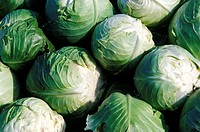 Cabbage crop brassica oleracea