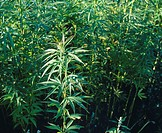 Hemp plants Cannabis sativa in a field  This crop is grown for commercial use  Hemp fibres are used to make paper and textiles  The waste products of ...