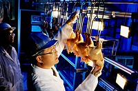 Chicken inspection  Agricultural engineer from the US Department of Agriculture´s Agricultural Research Service as he works on developing an automatic...
