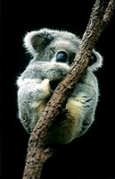 Koala sleeping  The koala Phascolarctos cinereus is relatively sedentary and sleeps for up to 18 hours a day  This is due to its poor diet, which cons...