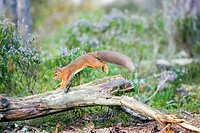 Red squirrel Sciurus vulgaris  Red squirrels are omnivorous rodents that live in woodlands across Eurasia  In Britain populations are threatened by co...