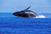 Humpback whale Megaptera novaeangliae breaching  This whale migrates from the Antarctic to overwinter in tepid tropical and sub-tropical waters where ...