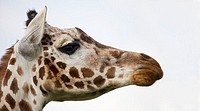 Rothschild giraffe Giraffa camelopardalis rothschildi  This subspecies of giraffe is found in Uganda and north-central Kenya  It is distinguished by r...