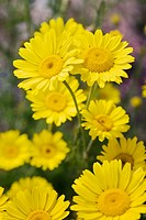 Golden Marguerite (Anthemis tinctoria). UW Medicinal Herb Garden, Seattle. Washington. USA