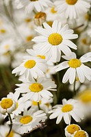 Dalmatian Pyrethrum (Chrysanthemum cinerariifolium, Tanacetum cinerariifolium). UW Medicinal Herb Garden, Seattle. Washington. USA