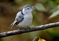 A whitebreasted nuthatch, sitta carolinesis, assesses the situation from a branch, Pennsylvania, USA