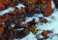 Colorful crustose lichens and snow on a rock  Lichens are a symbiotic relationship between an alga or a cyanobacterium and a fungus
