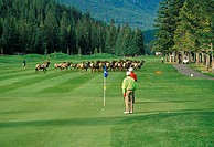 A bull elk Cervus canadensis and his harem present an unusual hazard to golfers at the Banff Springs Hotel in Alberta, Canada