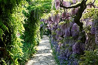 Park, footpath, blue-rain, Wisteria sinensis, prime, park, garden, grounds, way, plants, shrubs, vegetation, butterfly-bloom-plants, Fabaceae, Glyzini...