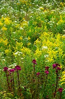 Canada goldenrod (Solidago canadensis) in old-field with ironweed and asters. Worthington. Ontario