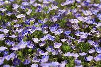 Meadow, Gamander-Ehrenpreis, Veronica Chamaedrys, detail, blooms, meadow-flowers, flowers, plants, special award, Braunwurzgewächse, blooms, prime, bl...