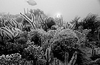 South Africa, Port Elizabeth, Ibhayi, Madiba Bay, coral-reef, underwater-reception, s/w, Indian ocean, reef, corals, coral-animals, flower-animals, ve...